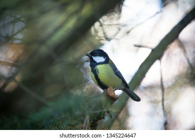 The great tit sitting on the tree branch at the park in Finland, Europe