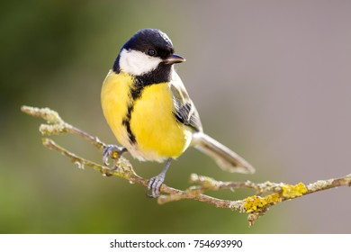 Great tit sitting on the tree branch.
