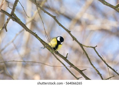 Great tit standing on branch