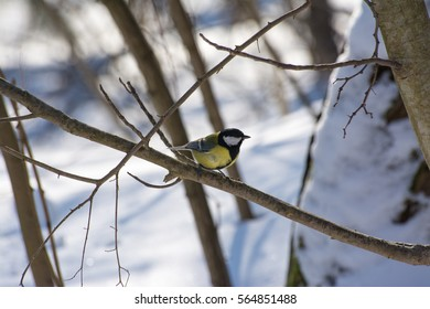 Great tit standing on branch of tree