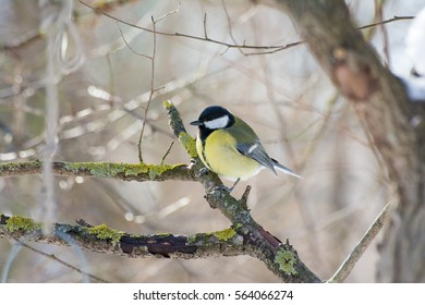 Great tit standing on tree branch