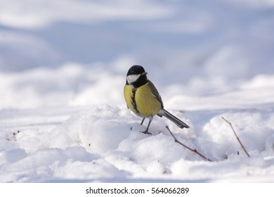 Great tit standing in snow