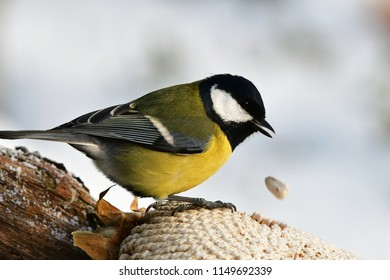 great tit with white seed of sunflower in beak