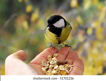 Great Titmouse from hand eating