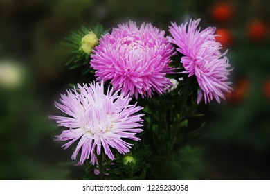 A great trio of purple asters sings a sweet summer song. Purple gortennziy asters on an isolated background