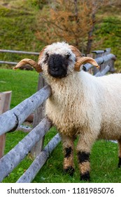 Great Valais blacknose sheep male in Alps