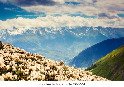 Great view of the alpine meadows with rhododendron flowers at the foot of Mt. Ushba. Dramatic unusual scene. Overcast  blue sky. Upper Svaneti, Georgia, Europe. The main Caucasian ridge. Beauty world.