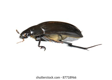 Great Water Beetle (Hydrophilus piceus) isolated on white