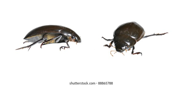 Great Water Beetle (Hydrophilus piceus) in two positions isolated on white
