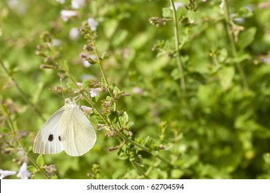 Great white butterfly sucking nectar on meadow flowers