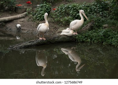 Great white or eastern white pelican, rosy pelican or white pelican is a bird in the pelican family