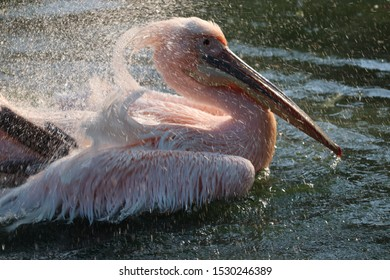 Great white or eastern white pelican, rosy pelican or white pelican is a bird in the pelican family.It breeds from southeastern Europe through Asia and in Africa in swamps and shallow lakes
