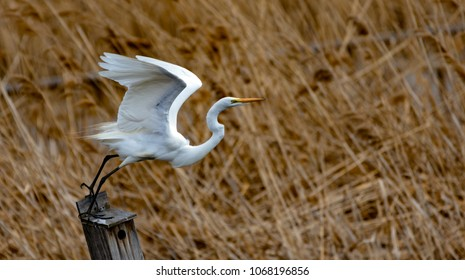 Egret Isolated Images Stock Photos Vectors Shutterstock