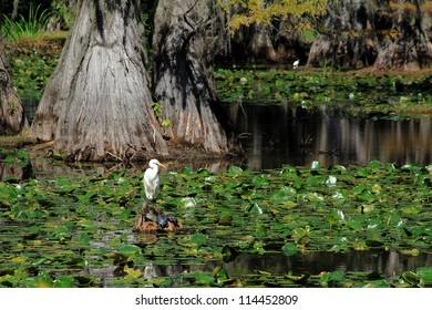 Great White Egret (Ardea alba)  perched on cypress stump with three turtles in marshy bayou of Caddo Lake in East Texas near Louisiana border.