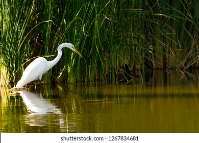 Great White Egret (Ardea alba) fishing in an Arizona lake. Real wildlife (not taken in a zoo).