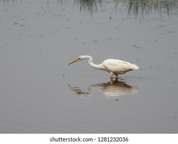 Great white egret (Ardea alba) fishing whilst wading in a lake.