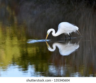 Great White Egret (Ardea alba) fishing in a marsh in the National Wildlife Refuge in Chincoteague Virginia.