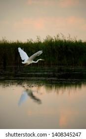 Great White Egret - Ardea alba, beautiful large egret from European fresh waters, Hortobagy National Park, Hungary.