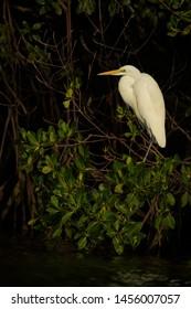 Great White Egret - Ardea alba, beautiful large egret from World fresh waters, La Somone, Senegal.