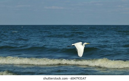 Great white egret (Ardea Alba) soaring low over water in Central America.