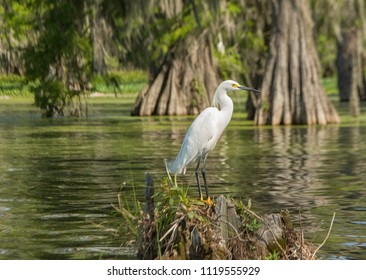 Great white egret in the Atchafalaya basin, Breaux Bridge, Louisiana
