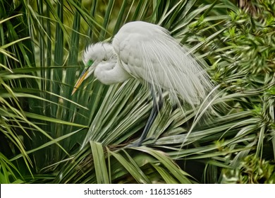 A Great White Egret at the beginning of breeding season, at a rookery in Beaufort County, SC.