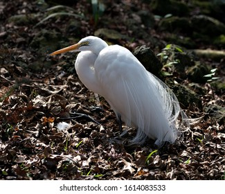 Great White Egret bird close-up profile view resting on the ground displaying  head, yellow beak, eye, white fluffy feathers plumage in its environment and surrounding.