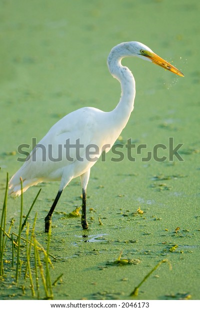 great white egret chomps on crayfish in south florida wetland
