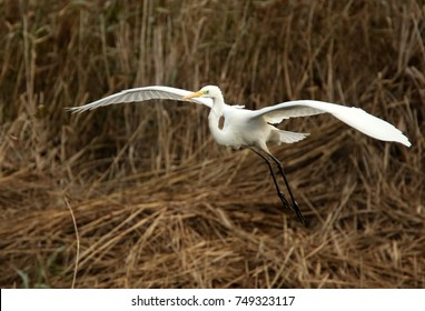Great white egret coming into land on the Somerset levels in south west England