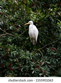 Great White Egret couple perched and interacting wihile exposing their bodies, head, beak, eye, white plumage with a nice foliage background in its environment and surrounding.