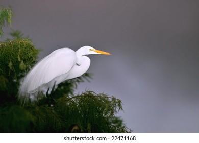 great white egret in cypress tree against dark sky background