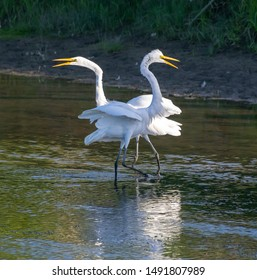 The Great White Egret Dance