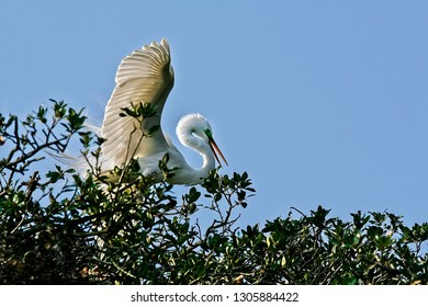 Great  white Egret displaying some aggressive behavior on tree top in northern Florida