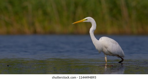 Great White Egret - Egretta alba - feeding at a wetland - Vilnius county, Lithuania