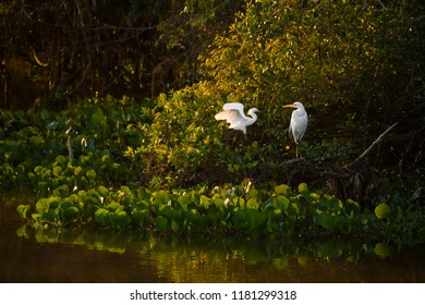 Great white Egret (Egretta alba) and a Snowy Egret (Egretta Thula) in the Pantanal, Brazil