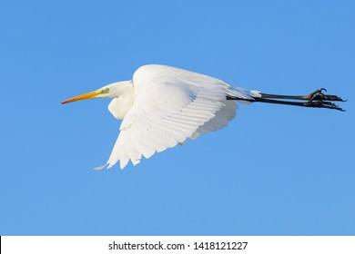 Great White Egret Egretta alba in flight on clear sky