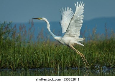 Great white egret (Egretta alba). The Great Egret (Ardea alba) starting of from the water. Action scene with open wings. Casmerodius albus, Ardea alba.