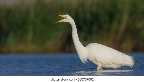 Great White Egret - Egretta alba - at a wetland - Vilnius County, Lithuania