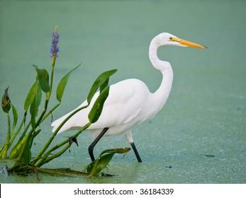 great white egret in florida wetland marsh beside pickerel weed