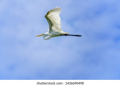 Great white egret flying in Clearwater, Florida