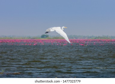 Great white egret flying at Red water lilies sea in Nong Han marsh, Kumphawapi district, Udon Thani, Thailand. It is also known as Ardea alba, common egret or great white heron.