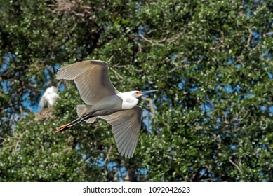 Great white egret flying with trees in the background