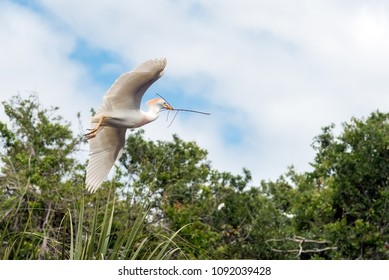 Great white egret flying and wings spread open showing feathery detail