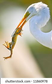 great white egret with frog in its beak