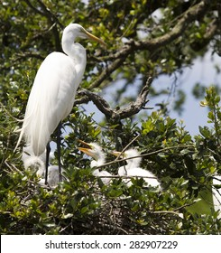 Great White Egret Heron Crane and Baby Birds