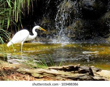 Great White Egret hunting at South Perth lake