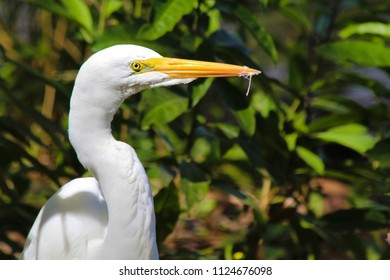 Great White Egret with little pieces of Feathers in its Beak (Garça Branca Grande / Casmerodius albus or Ardea alba)