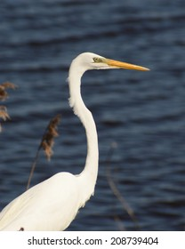 Great White Egret near the water at Bombay Hook.