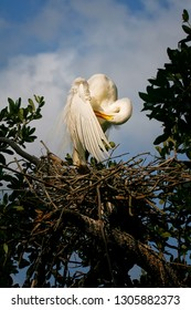 Great White Egret in nest on tree top cleaning himself
