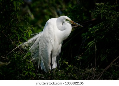 Great white egret in nesting area in northern Florida